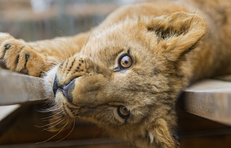 Photo wallpaper cat, look, face, Leo, cub, lion, ©Tambako The Jaguar