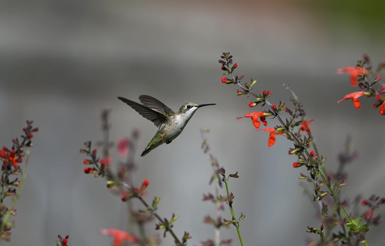 Photo wallpaper flight, flowers, bird, Hummingbird, red