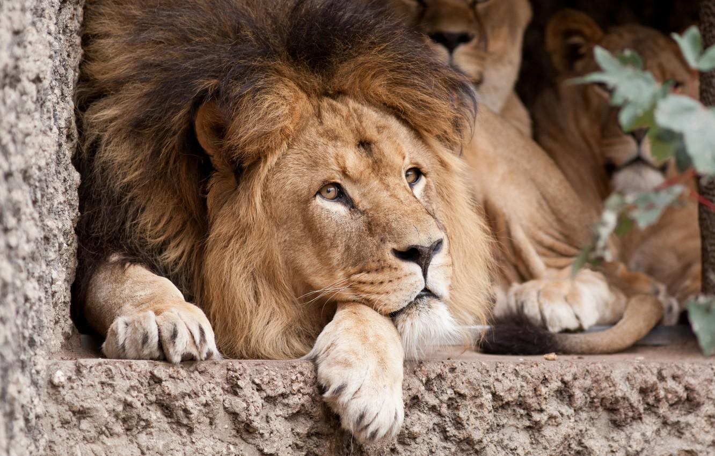 Photo wallpaper cat, look, face, Leo, mane