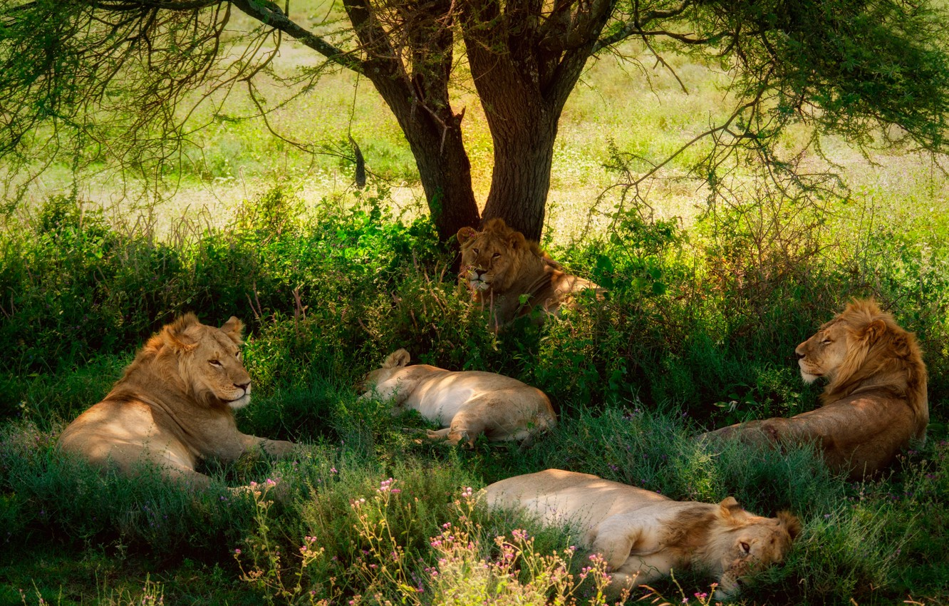 Photo wallpaper tree, stay, lions