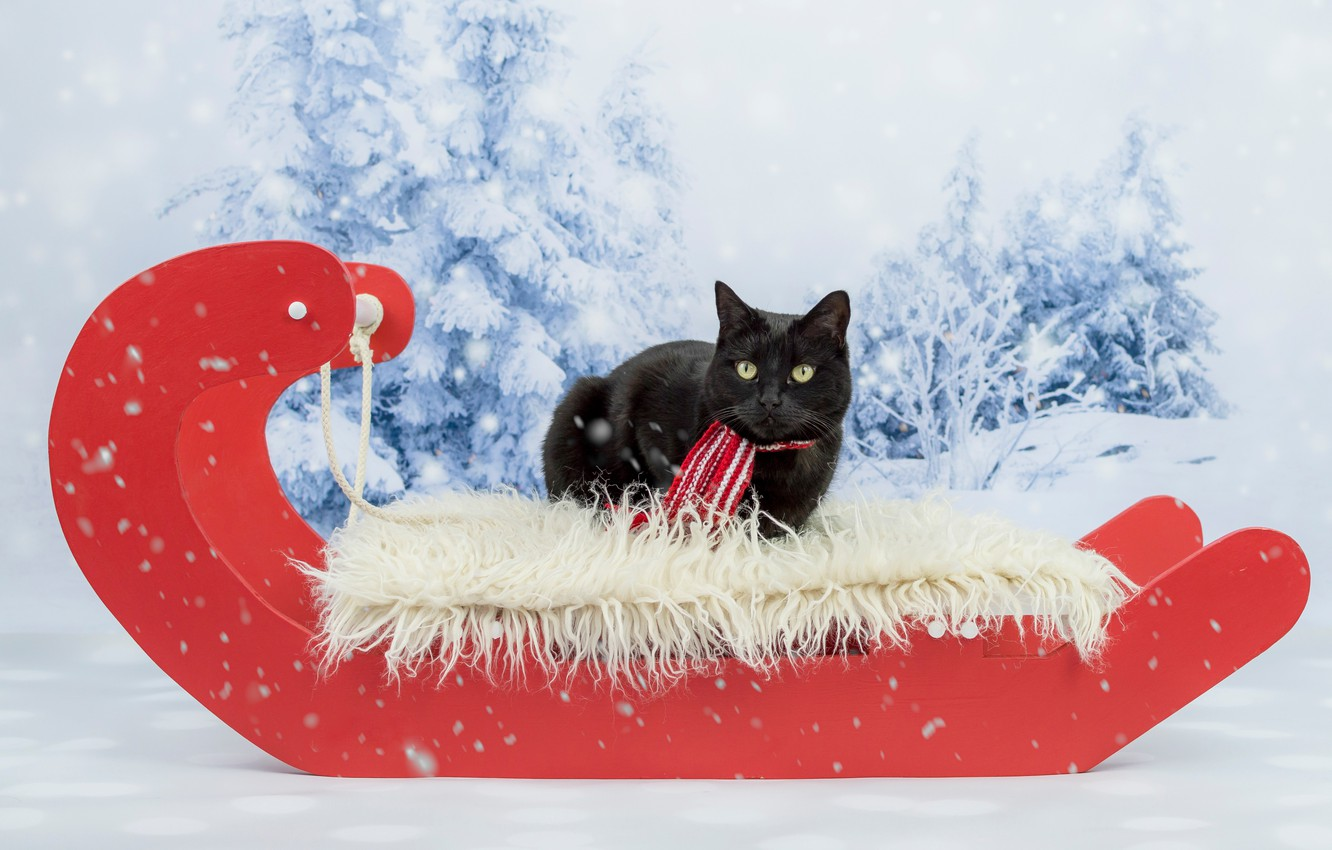 Photo wallpaper winter, cat, cat, look, snow, red, background, black, new year, Christmas, ate, scarf, lies, fur, …