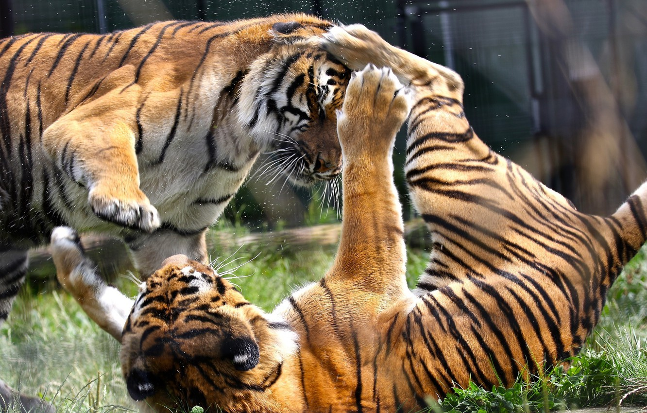 Photo wallpaper the game, predators, fight, wild cats, a couple, tigers, zoo, showdown