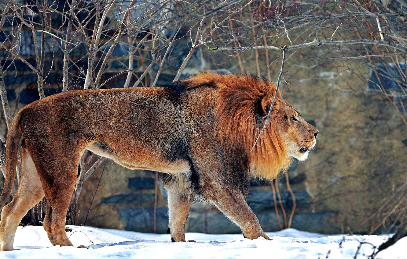 Photo wallpaper winter, snow, predator, Leo, beast, zoo, big cat, mammal