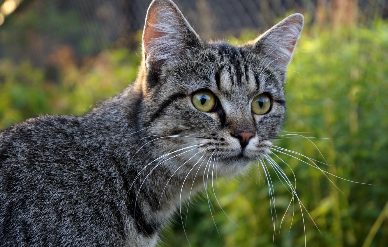 Photo wallpaper cat, mustache, look, face, blur, grey
