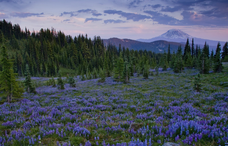 Photo wallpaper trees, flowers, mountains, glade, Washington, lupins, Cascade Range, Goat Rock Wilderness