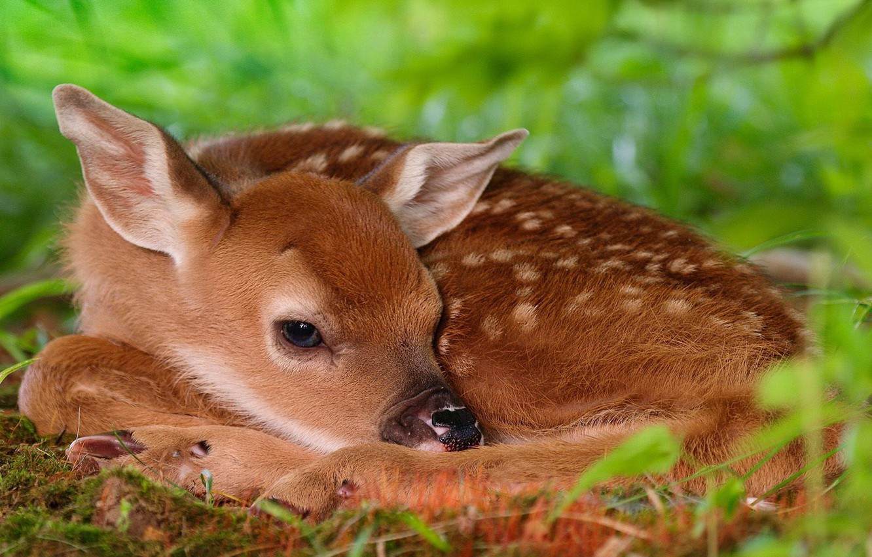 Photo wallpaper greens, Bambi, deer