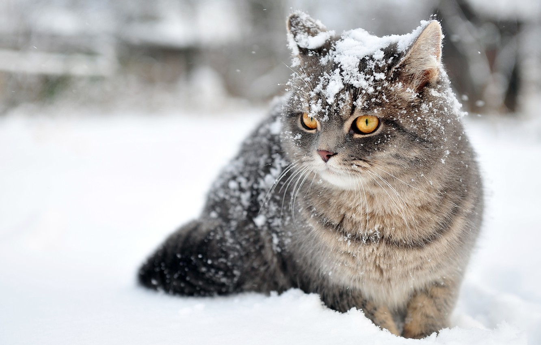 Photo wallpaper winter, cat, snow