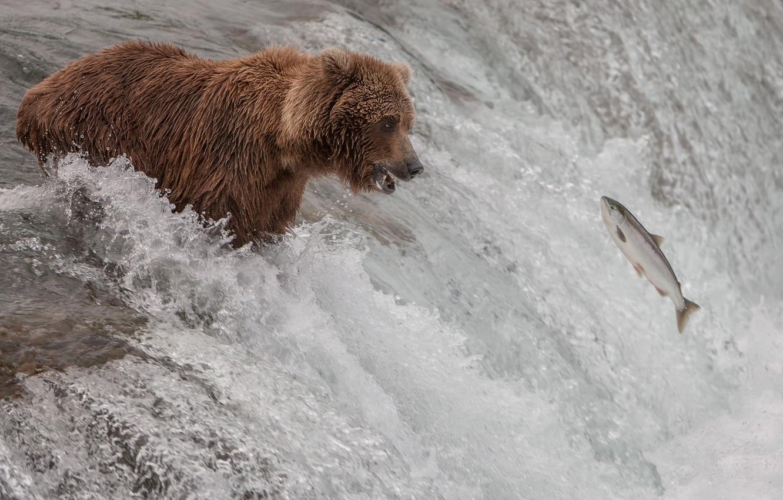 Photo wallpaper river, stream, fish, bear