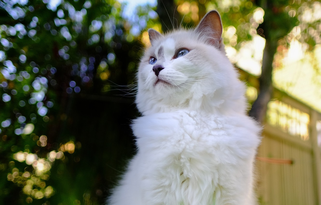 Photo wallpaper cat, cat, nature, pose, the fence, fluffy, bokeh, blue-eyed