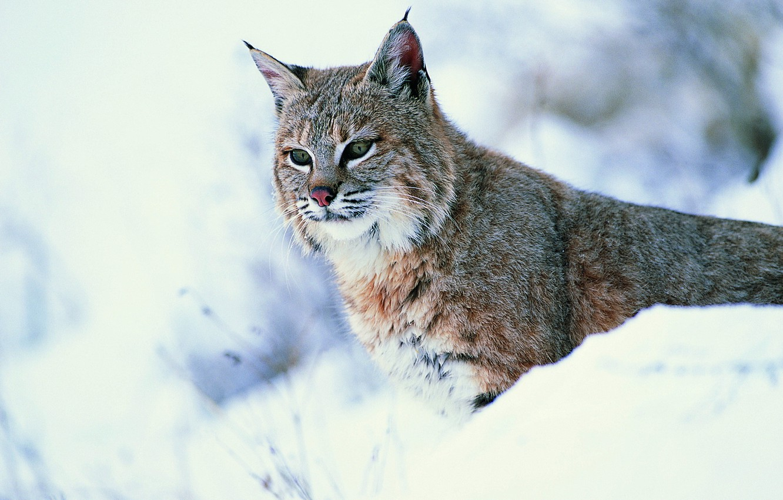 Photo wallpaper look, snow, lynx, wild cat