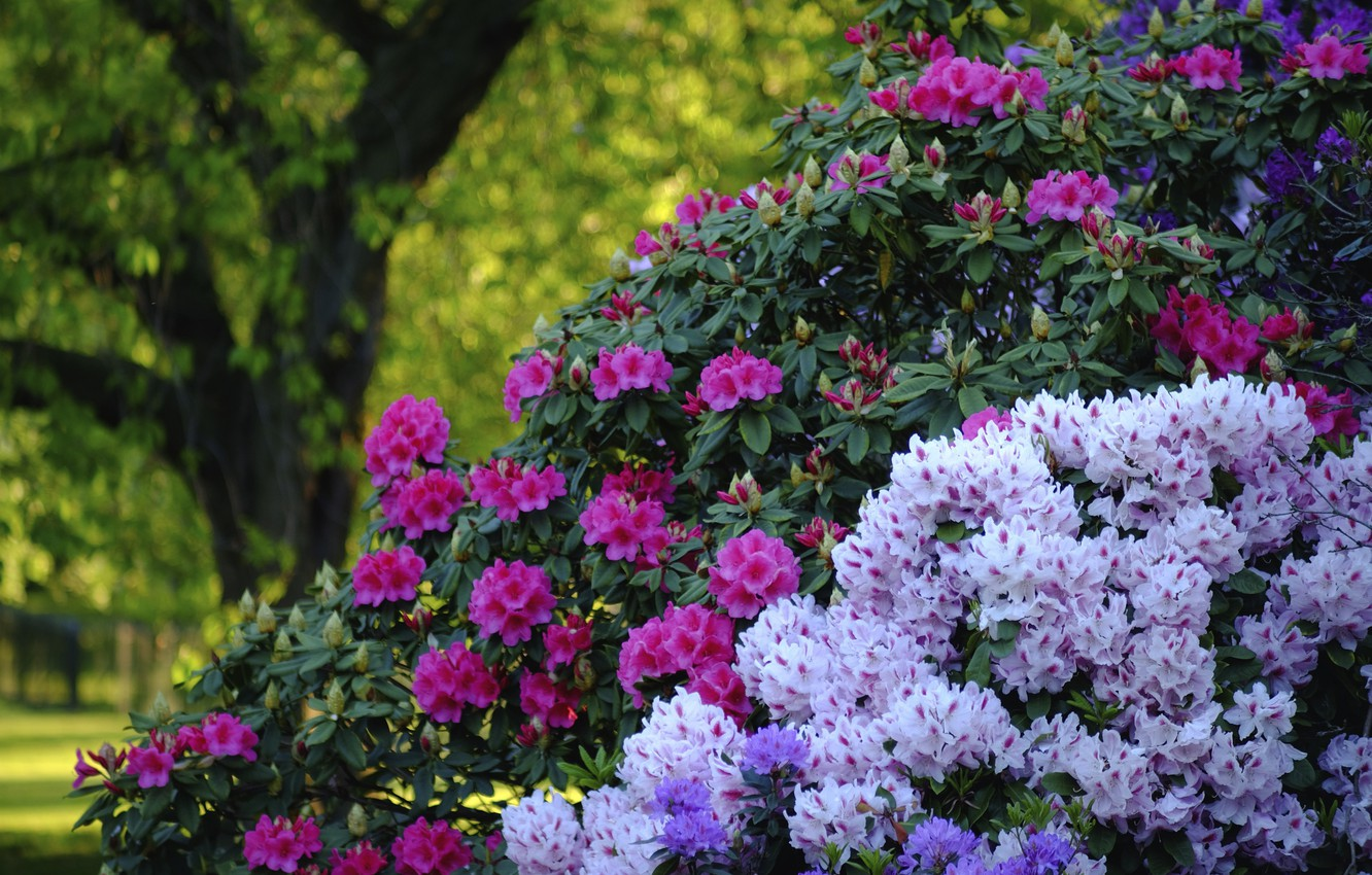 Photo wallpaper Park, England, London, the bushes, London, England, rhododendrons, Greenwich, Greenwich, Greenwich Park, Greenwich Park