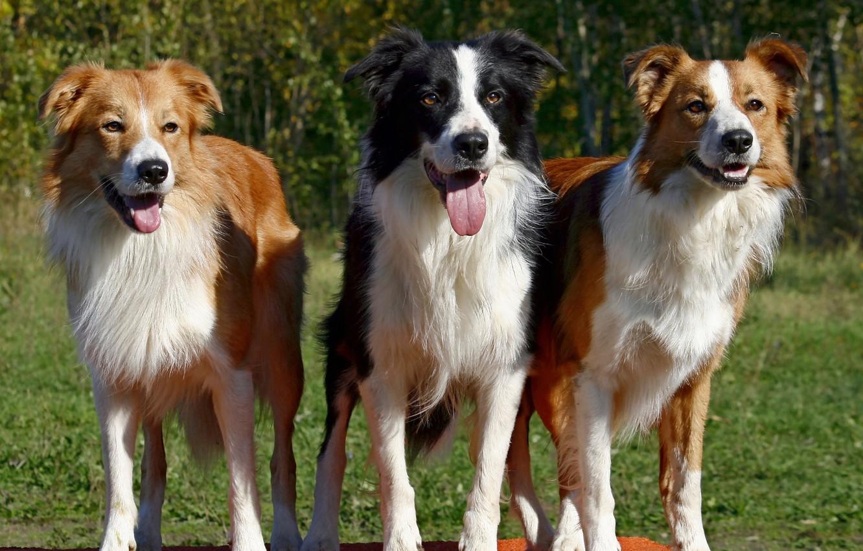 Photo wallpaper dog, dog, the border collie