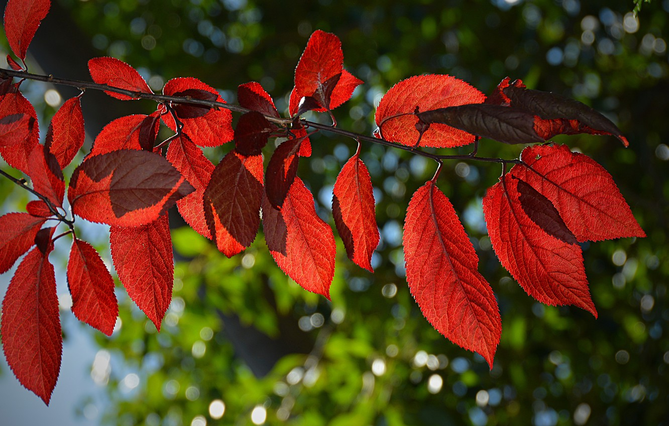 Photo wallpaper Autumn, Leaves, Red, Red, Autumn, Leaves