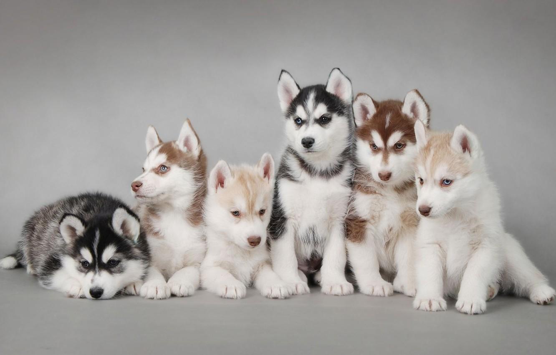 Photo wallpaper dogs, puppies, husky