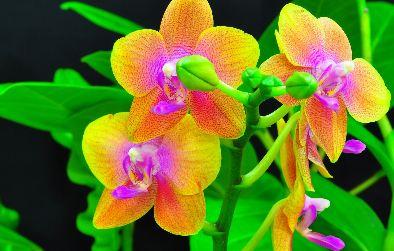 Photo wallpaper branch, orchids, exotic, buds