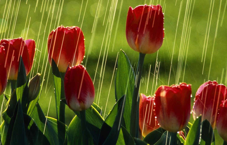 Photo wallpaper greens, summer, the sun, rain, tulips, red tulips