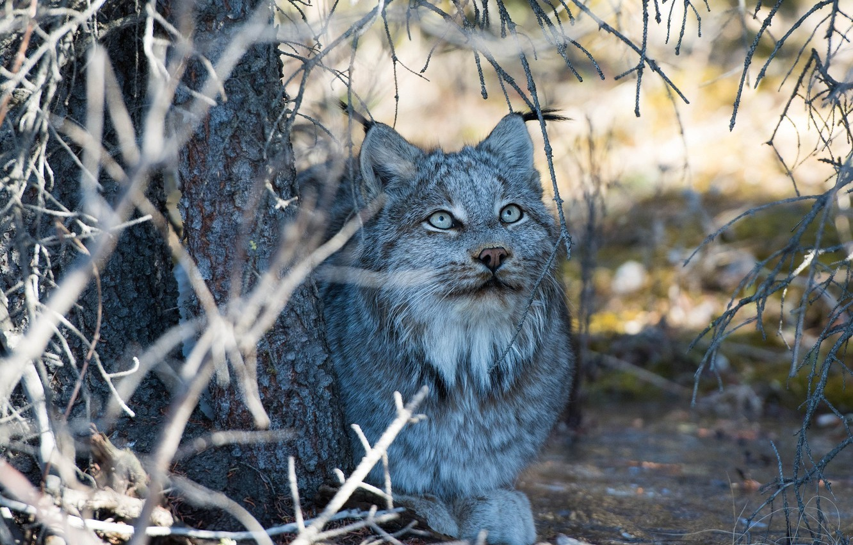 Photo wallpaper face, branches, stay, shadow, predator, lies, lynx, wild cat