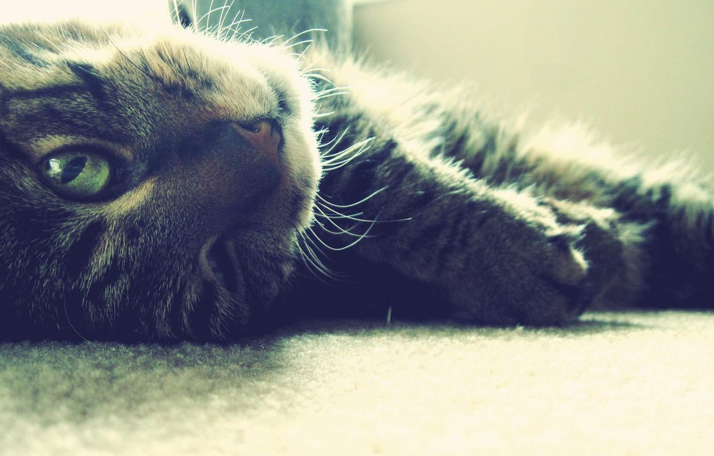 Photo wallpaper eyes, cat, mustache, paws, wool, muzzle