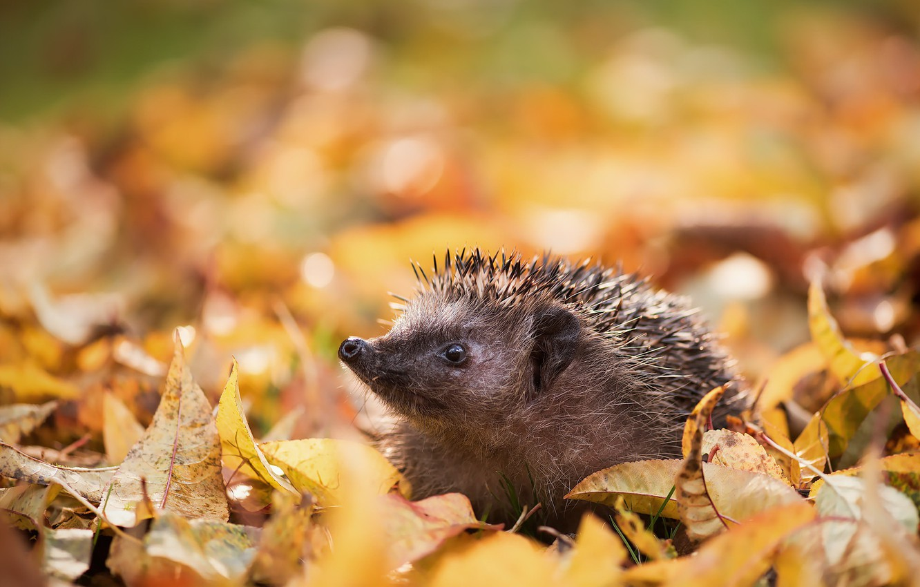 Photo wallpaper autumn, nature, hedgehog