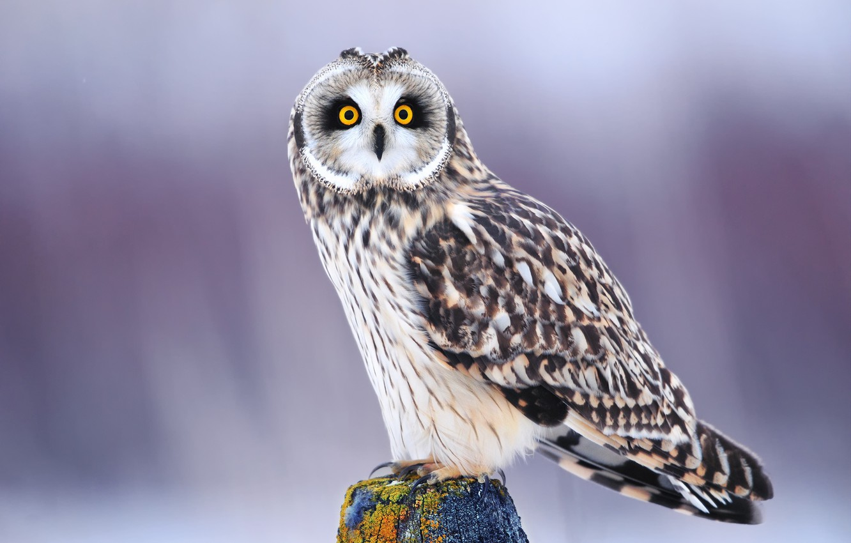 Photo wallpaper winter, eyes, look, owl, bird