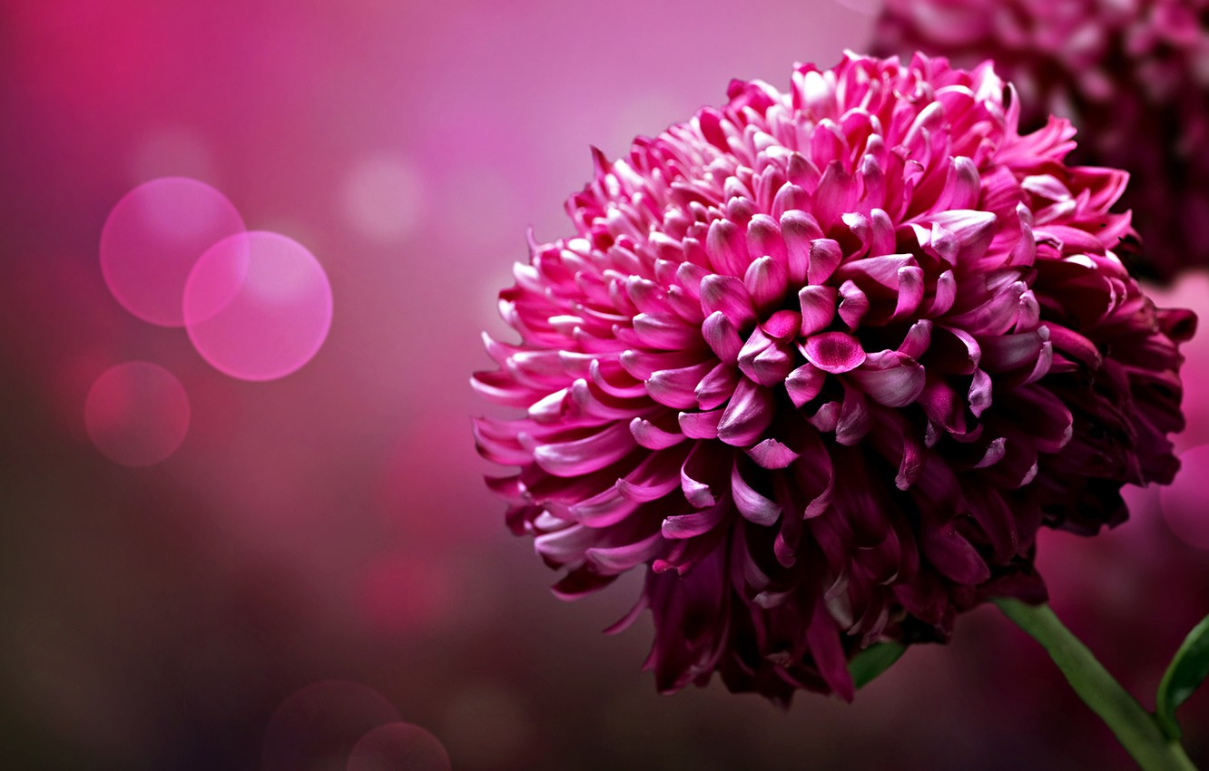 Photo wallpaper flower, background, color, petals, brightness, chrysanthemum