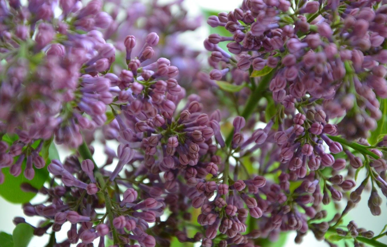Photo wallpaper flowers, spring, lilac, the color purple, spring flowers, the color purple