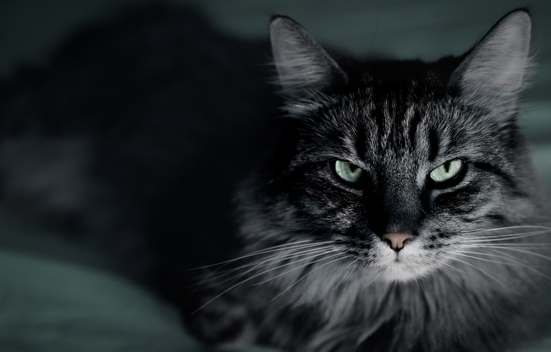Photo wallpaper cat, cat, mustache, macro, close-up, the dark background, grey, striped