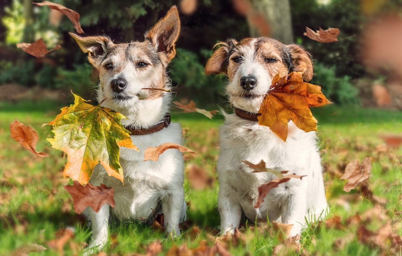 Photo wallpaper autumn, dogs, leaves, a couple, Jack Russell Terrier