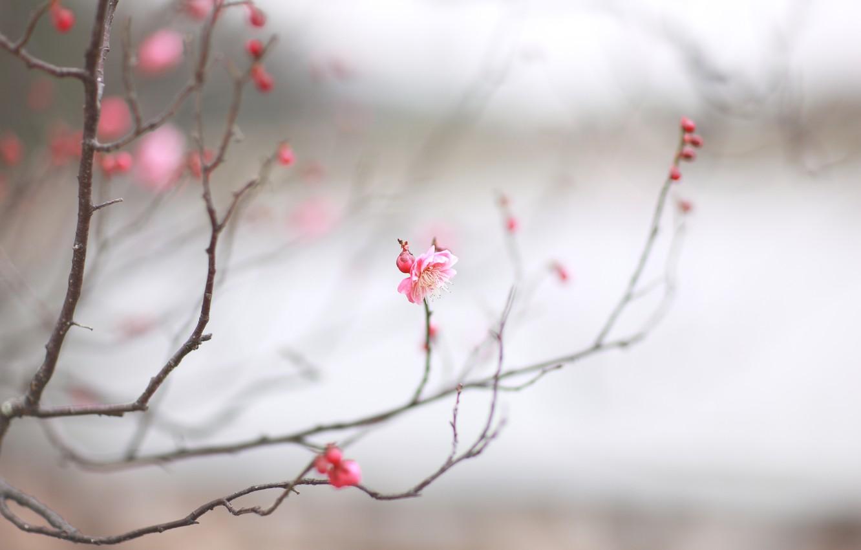 Photo wallpaper macro, cherry, sprig, pink, spring, Sakura