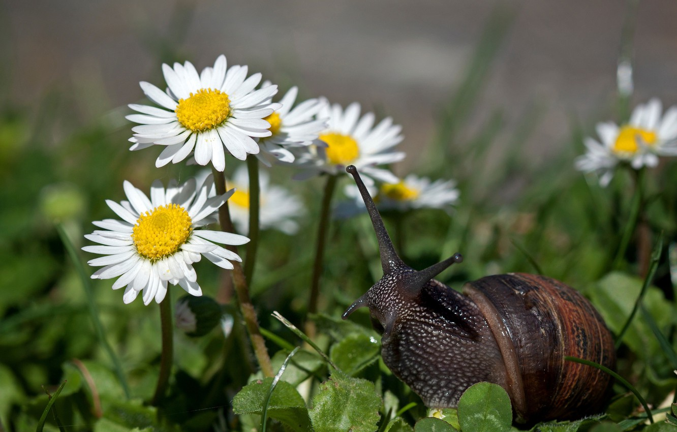 Photo wallpaper flowers, chamomile, weed, little snail