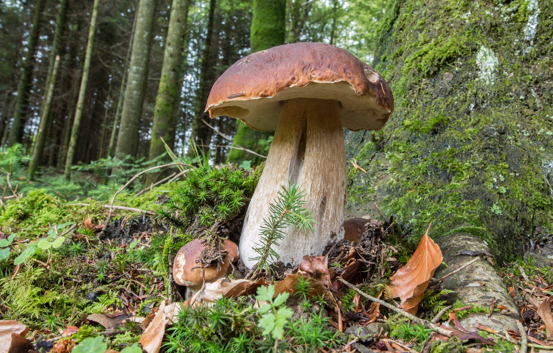 Photo wallpaper forest, grass, nature, mushrooms, White mushroom