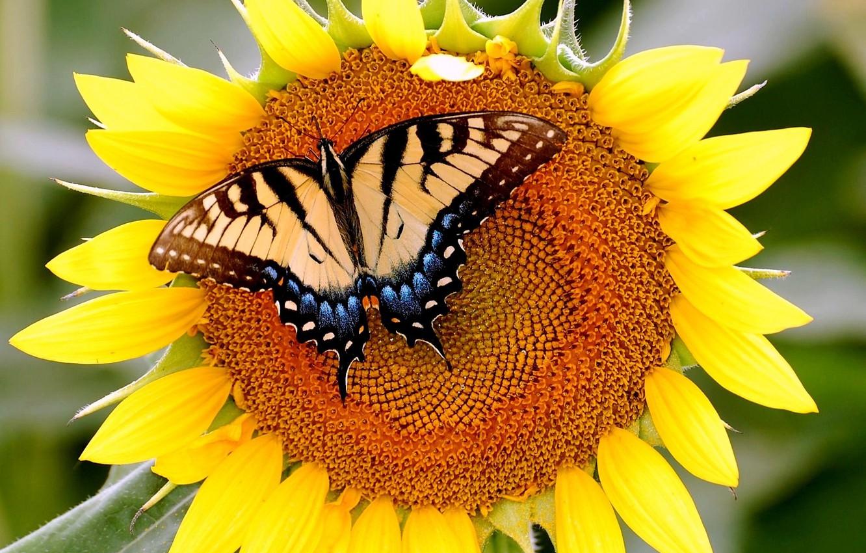 Photo wallpaper butterfly, sunflower, mahoon