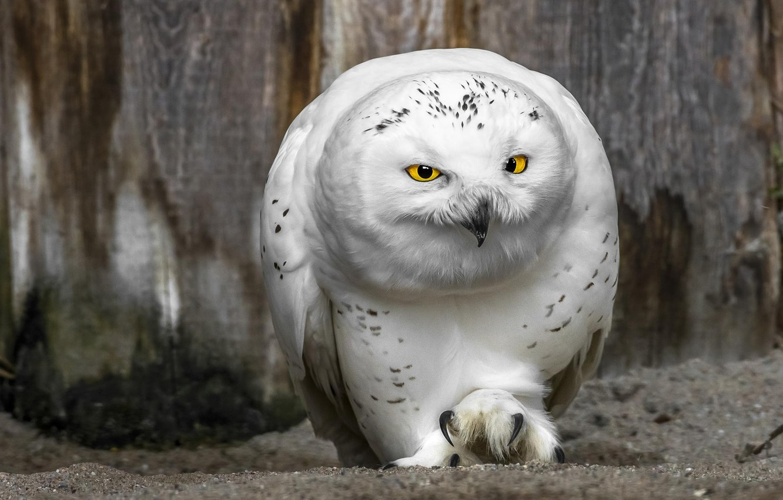 Photo wallpaper owl, beak, yellow eyes
