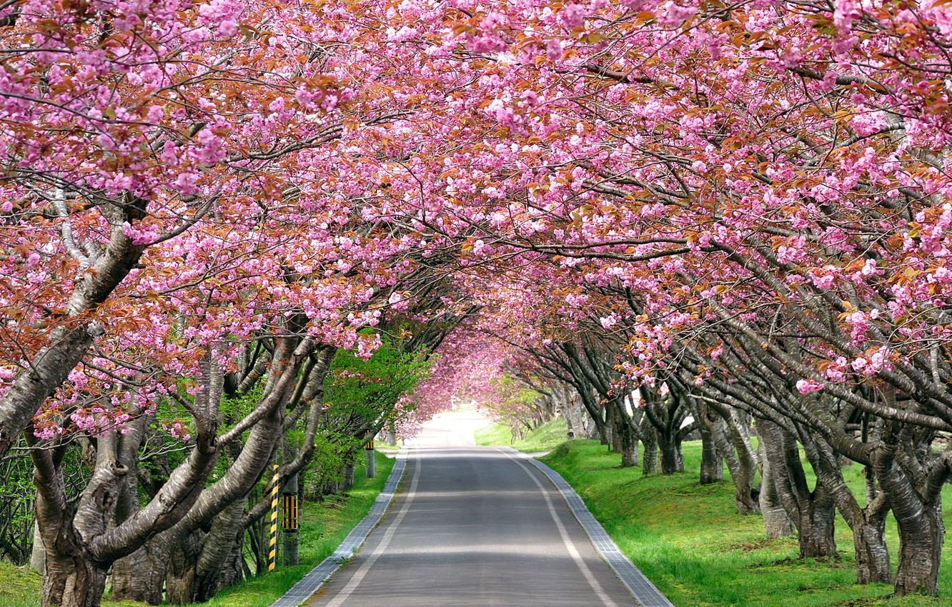 Wallpaper Road Landscape Cherry Fatigue Sakura Track Alley