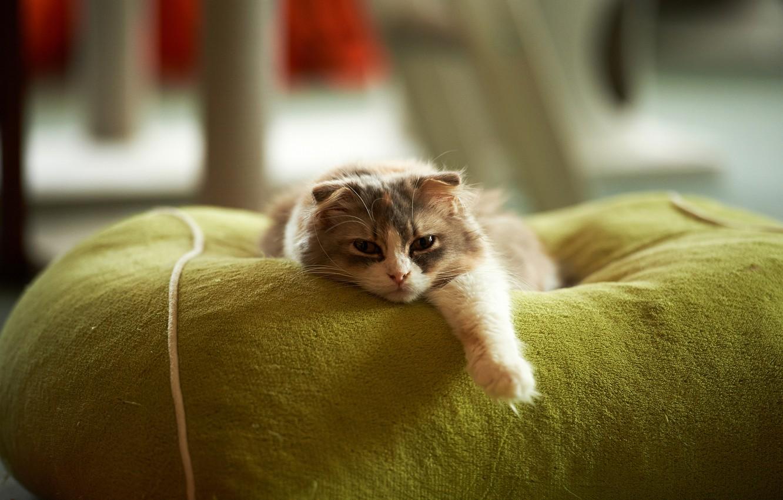 Photo wallpaper cat, stay, paw, lying