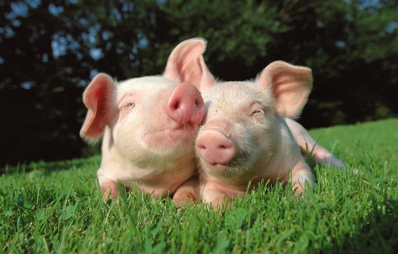Photo wallpaper grass, nature, pig, friends