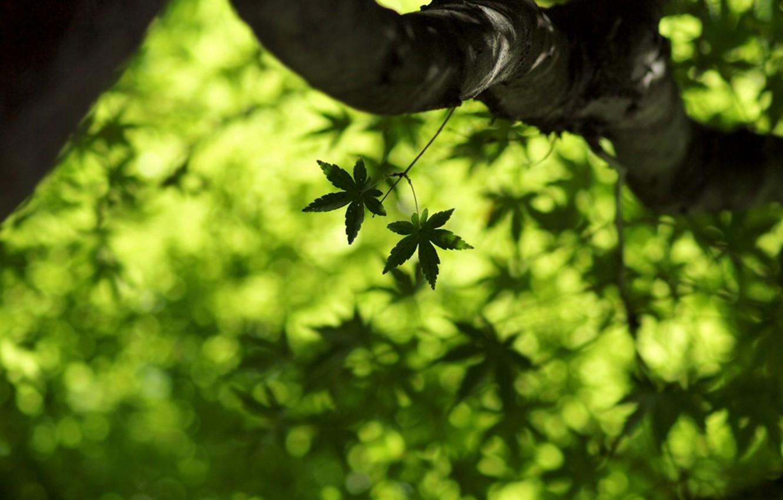 Photo wallpaper greens, summer, leaves, macro, freshness, spring, maple, leaves, leaf, maple leaf, green macro, leaf wallpapers, …