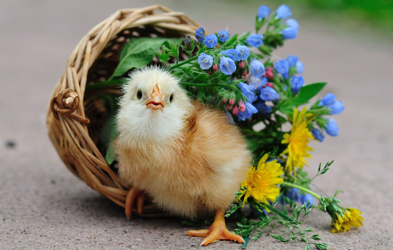 Photo wallpaper FLOWERS, BIRD, CHICKEN, BASKET, CHICK