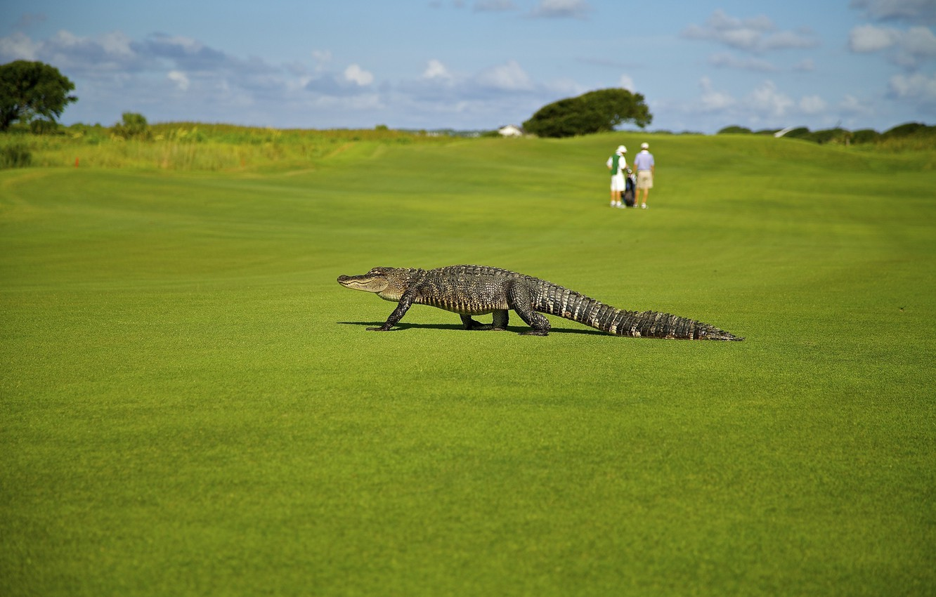 Photo wallpaper greens, field, summer, grass, the sun, people, lawn, the situation, crocodile, Golf, bokeh, alligator