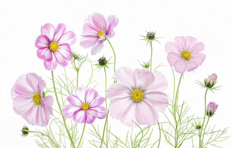 Photo wallpaper macro, paint, plant, petals, kosmeya