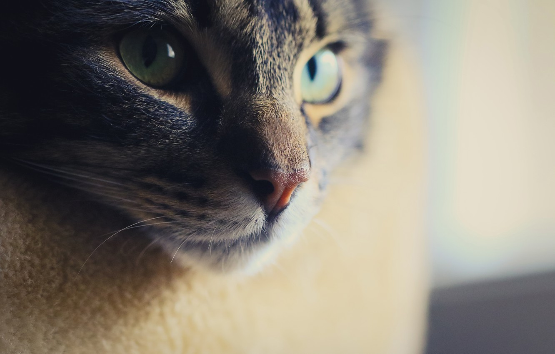Photo wallpaper cat, eyes, look, face