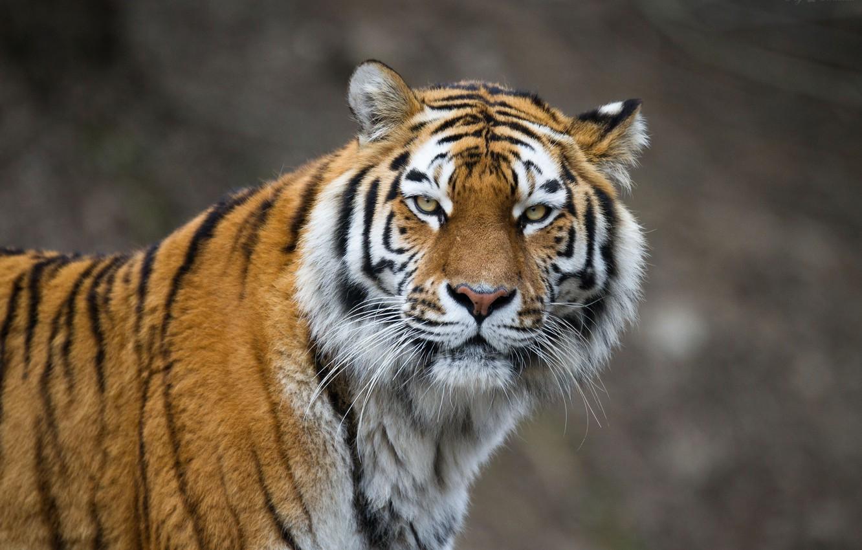 Photo wallpaper cat, look, face, tiger, Amur