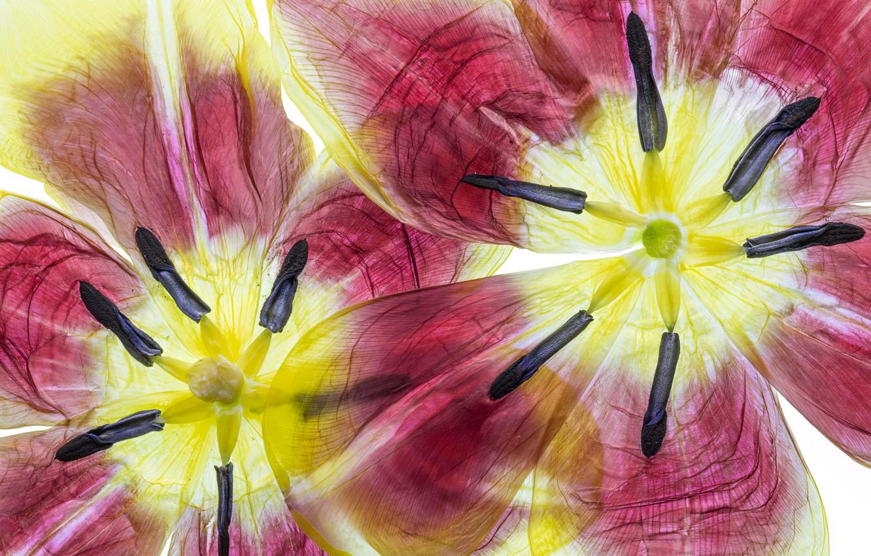Photo wallpaper flower, nature, paint, Tulip, petals