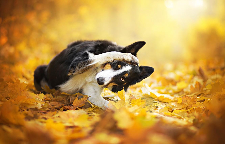 Photo wallpaper autumn, leaves, dog, bokeh