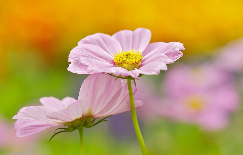 Photo wallpaper flowers, background, pink, kosmeya