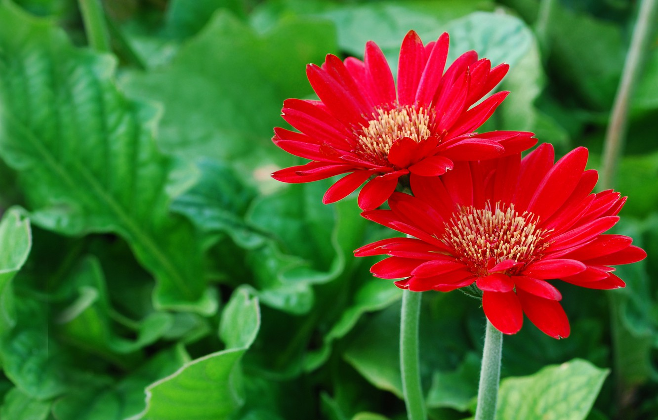 Photo wallpaper petals, red, gerbera, green background