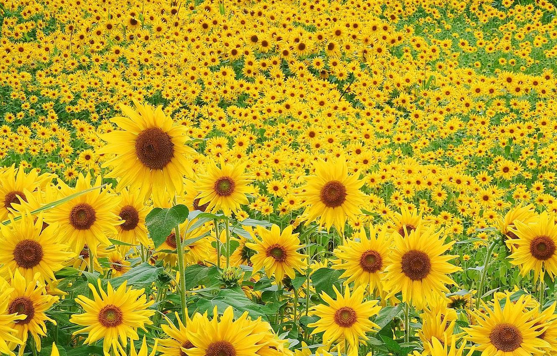 Photo wallpaper greens, field, summer, sunflowers, flowers, mood