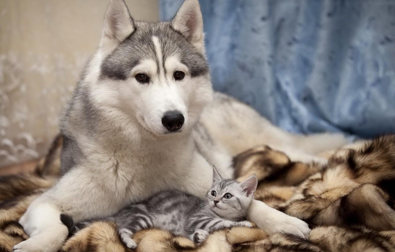 Photo wallpaper cat, dog, friendship, care, husky