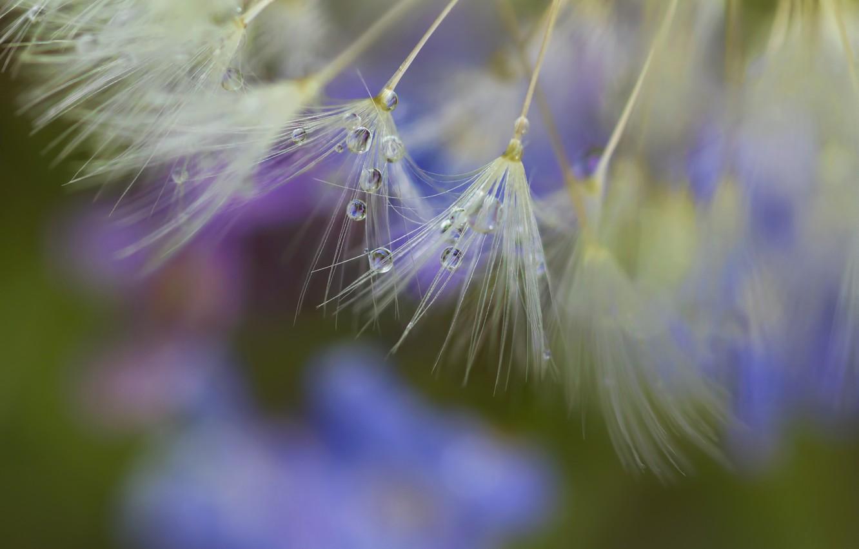 Photo wallpaper macro, Rosa, dandelion, drop, seeds