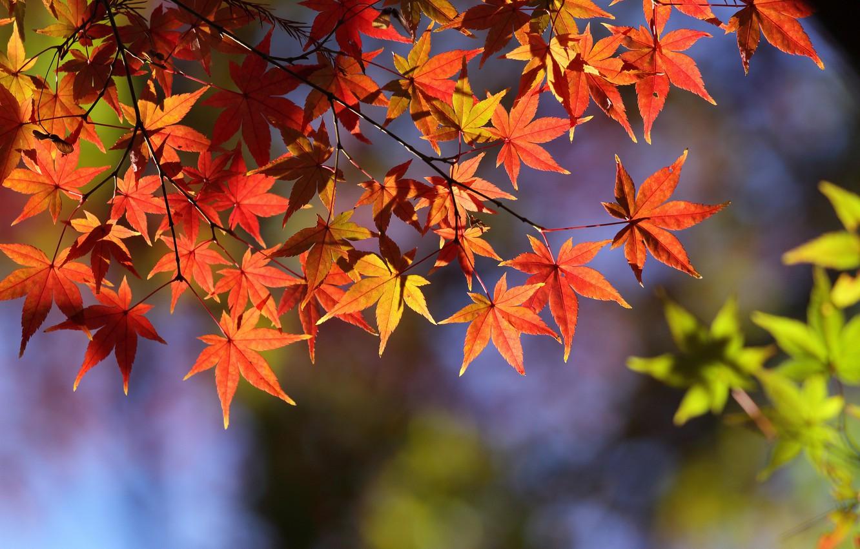 Photo wallpaper autumn, leaves, macro, branch, maple